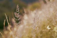 (Ernst_P.) Tags: aut inzing österreich tirol pflanze samyang walimex 135mm f20 austria autriche tyrol gras bokeh