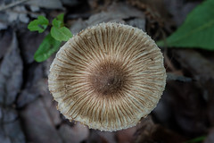 Paterns Of Nature - 052218-115211 (Glenn Anderson.) Tags: macro closeup nikon outdoor spores forest nature wood woodrot bokeh natural cap fungi fungus oldwaynesboroughpark