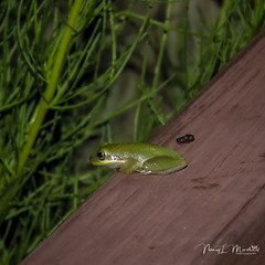 allapattah_fb_2014-21 (ccgrin) Tags: wma allapattahflats amphibian animals florida frog jpg nature park stuart treefrog wildlife palmcity unitedstates us