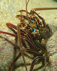 bug/eyed (BarryFackler) Tags: benthic life seacreature marine lobster ula panuliruspenicillatus crustacean tuftedspinylobster arthropod ppenicillatus spinylobster decapod water westhawaii ecology ecosystem reef tropical undersea underwater 2018 organism outdoor ocean island invertebrate marineinvertebrate polynesia pacificocean pacific aquatic animal barryfackler barronfackler bigisland bay biology being bigislanddiving southkona sea scuba sealife sealifecamera sandwichislands saltwater seawater diver dive diving fauna hawaii hawaiiisland hawaiicounty honaunau honaunaubay hawaiidiving hawaiianislands marineecology marineecosystem marinebiology marinelife nature creature coralreef coral zoology