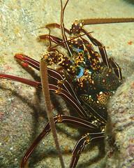 bug/eyed (BarryFackler) Tags: benthic life seacreature marine lobster ula panuliruspenicillatus crustacean tuftedspinylobster arthropod ppenicillatus spinylobster decapod water westhawaii ecology ecosystem reef tropical undersea underwater 2018 organism outdoor ocean island invertebrate marineinvertebrate polynesia pacificocean pacific aquatic animal barryfackler barronfackler bigisland bay biology being bigislanddiving southkona sea scuba sealife sealifecamera sandwichislands saltwater seawater diver dive diving fauna hawaii hawaiiisland hawaiicounty honaunau honaunaubay hawaiidiving hawaiianislands marineecology marineecosystem marinebiology marinelife nature creature coralreef coral zoology