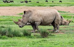 White Rhinoceros (George Pagos) Tags: riftvalley whiterhinoceros kenya lakenakurunplionhilllodge