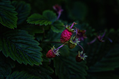 Wild Strawberries (anderswetterstam) Tags: berries nature plants strawberry wild green red botanical delicious food