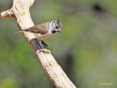 Herrerillo capuchino (Lophophanes cristatus) (4) (eb3alfmiguel) Tags: aves insectívoros paridae herrerillo capuchino lophophanes cristatus