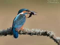 Common Kingfisher (Alcedo atthis) (www.mikebarthphotography.com 1.5M Views thanks !) Tags: alcedoatthis commonkingfisher