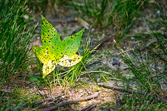 fallen star (avflinsch) Tags: ifttt 500px gum sweet leaf bright star spots mold dark sun tree leaves green sweetgum