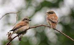 Жулан, молодая птица - Жулан обыкновенный, самка. Red-backed shrike, juvenile bird (SvetlanaJessy) Tags: природа птицы жулан shrike