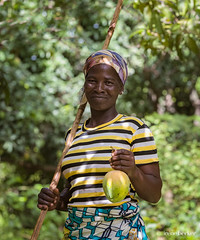 Mango Harvest (Irene Becker) Tags: africa imagesofnigeria kaduna kadunastate nigeria nigerianimages nigerianphotos northnigeria harvesting mango northernnigeria portraiture rido