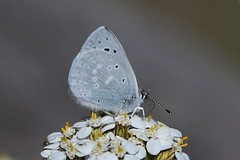 Summertime Blues  :) (Paridae) Tags: butterfly butterfliesofbritishcolumbia manningpark silveryblue blues glaucopsychelygdamus summertimeblues flutterby thingswithwings afewofmyfavouritethings canoneos1dx