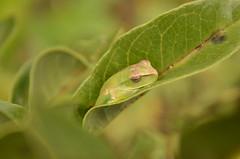 Rã verde. Gênero Phyllomedusa. P. nordestina? (robertoguerra10) Tags: batraquio anuro rã perereca verde