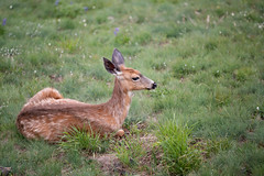 Washington Vacation - Day 2 (95 of 97) (Quentin Biles) Tags: 15028 d850 ex hurricaneridge macro nikon os olympicnationalpark sigma washington deer