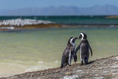 Animals-1 (niekeblos) Tags: penguin penguins animal animals together ocean atlanticocean southafrica mountain mountains