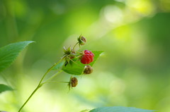 I'd say yummy! (Baubec Izzet) Tags: baubecizzet pentax bokeh fruit forest nature summer red green flickrunitedaward
