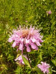 Monarda fistulosa (tammoreichgelt) Tags: bee balm flowers flower wild bergamot lamiaceae spruce woods inflorescence