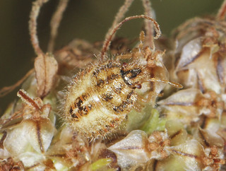 Hairy Shieldbug Mid Instar Nymph (about 4mm)