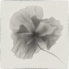 Poppy in monochrome (Funchye) Tags: 105mm d610 nikon blomst valmue monochrome flower poppy backside backview