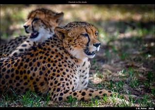 Cheetah in the shade