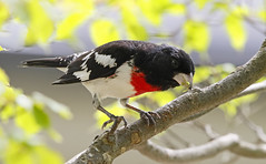 Rose-breasted Grosbeak [Male]