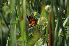 img_100-3810 (Mark Eichin) Tags: greatmeadowsnationalwildliferefuge concord butterflies massachusetts monarch