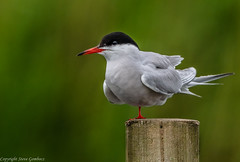 Common Tern (steve.gombocz) Tags: nikon nikond850 nikon500mmf4 nikonfx nikoncamera nikonusers avian uccello oiseau vogel pajaro flickraddicts birdphotographs birdphotography green outdoors animal out outandabout nature wildlife wildlifewatch naturewatch wildlifereserve naturereserve wildlifephotos naturephotos naturephotography wildlifephotography wildlifepictures naturepictures summerwatch bbcsummerwatch tier animale flickrwildlife flickrnature wildbritain britishwildlife britishnature wildlifeuk yorkshirewildlife yorkshirenature rspbreserve rspbstaidans bird birds ukbird tern commontern birdwatch birdwatcher birdwatching naturewildlife uknatureandwildlife flickrbirds explorewildlife explorenature explorebirds exploreflickr colour colours color colourmania wood