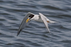 Least Tern (tresed47) Tags: 2018 201806jun 20180618njforsythebirds birds canon7d content ebforsythenwr folder june leasttern newjersey peterscamera petersphotos places season spring takenby tern us