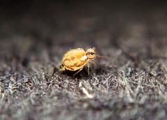 Prorastriopes coalingaensis female (Bugldy99) Tags: animal arthropoda arthropod hexapod hexapoda springtail symphypleona nature macrocloseup macro closeup collembola