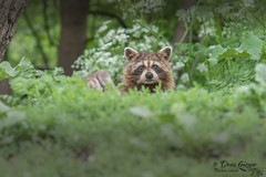 Raton laveur - Raccoon (heolzo) Tags: été raccoon ratonlaveur wildlife faune nature animaux parcs parks