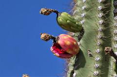Saguaro cactus fruit (Monkeystyle3000) Tags: saguaro cactus fruit desert plant