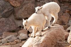 Mountain Goat kids posing