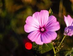 De archivo, feliz fin de semana (rafa el del sombrero) Tags: helios44m4 m42 olympuse500 fleur enfoquemanual manuallens vintagelens