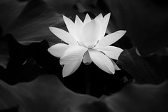 Pure White (Picocoon图茧) Tags: lotus water lily flower floral bw blackandwhite lowkey petal central rain drops summer