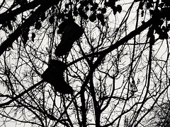 Strange Fruit. (ianmiller6771) Tags: drugs boots tree silhouette bw blackandwhite monochrome worcesteruk streetphotography leaves branches drugdealing stark reality