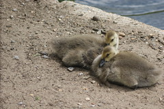 DSC00505 (The Unofficial Photographer (CFB)) Tags: deardiaryjune2018 goslings geese featheredfriends ewell