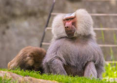 Baboon (JuanJ) Tags: nikon d850 lightroom art bokeh nature lens light landscape white green red black pink sky people portrait location architecture building city iphone iphoneography square squareformat instagramapp shot awesome supershot beauty cute new flickr amazing photo photograph fav favorite favs picture me explore interestingness wedding party family travel friend friends vacation beach baboon monkey northcarolina zoo april 2018 animal ashboro