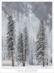 Conifers, Snow, Cliff (G Dan Mitchell) Tags: yosemite valley cliff granite trees forest conifers meadow snow flurry silhouette mist clouds storm landscape nature national park california usa north america sierra nevada