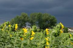 Regenwetter (Sockenhummel) Tags: sonnenblume teltow wolken sunflower himmel sky regenwetter gewitter feld fuji x30