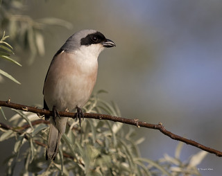 Lesser Grey Shrike_MG_2523