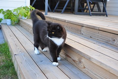 Out inspecting the patio (vanstaffs) Tags: tussi tuzz tuxedocat t tux tusse tutu tuzz® myprettyliltuxedogirl