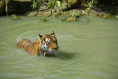 Sibirischer Tiger (Michael Döring) Tags: gelsenkirchen bismarck zoomerlebniswelt zoo armurtiger sibirischertiger afs70200 d800 michaeldöring