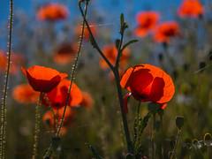 Mohnblumen - Poppies (achim-51) Tags: mohnblumen poppies natur outdoor lumix dmcg5 panasonic rot