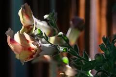 In the afternoon sun (Löwenmäulchen/Snapdragon/Antirrhinum) (Gandersheim) Tags: fujifilm fuji fujixe2 fujifilmxc50230mm flowers flowerpower nature macro makro dof depthoffield bokehlicious bokeh nofilter nophotoshop dreamy sunlight colorful colors