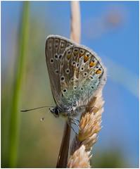 Common Blue (Pitheadgear) Tags: nature macro macrophotography leicadgmacroelmarit45mm microfourthirds tyldesley lancashire england naturalhistory closeups lepidoptera commonblue lumixgx8
