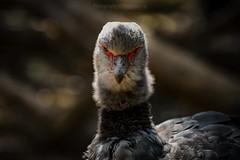 Southern Screamer (in explore) (@Katerina Log) Tags: bird look eyes beak bokeh depthoffield portrait feathers attikazoopark wildlife wild katerinalog sonyilce6500 outdoor nature natura