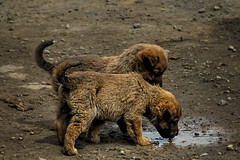 IMG_4736cr (koksalnilgun) Tags: puppy dog twin buddy sibling brown friends