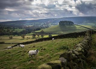 Sheep at Evening