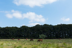Old Reemst Landscape (Leo Kramp) Tags: 2018 oudreemst landscape landschap veluwe wandelen loweproflipside300awii natuurfotografie horses paarden flickr accessoires otterlo gelderland nederland nl leo kramp leokramp wwwleokrampfotografienl leokrampfotografie