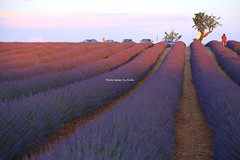 IMG_4295 (肉拉) Tags: valensole lavender france provence