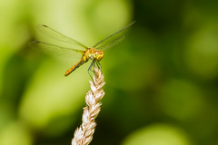 RUDDY DARTER (_jypictures) Tags: animalphotography animals animal animalplanet canon canon7d canonphotography wildlife wildlifephotography wiltshire naturephotography nature photography pictures dragonfly dragonflyphotography ruddydarter darter macrophotography macro insect insectphotography