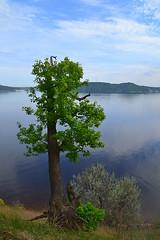 Cylindric crownless oak (МирославСтаменов) Tags: russia togliatti river volga oak tree slope edge crown