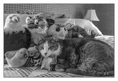 Amongst Friends... (Timothy Valentine) Tags: 2018 blackandwhite 0718 cat happycaturday home quinnomannion eastbridgewater massachusetts unitedstates us afavoritespot
